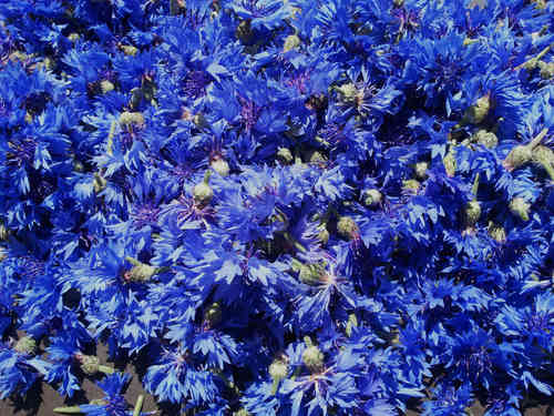 CORNFLOWER-BLOSSOMS
