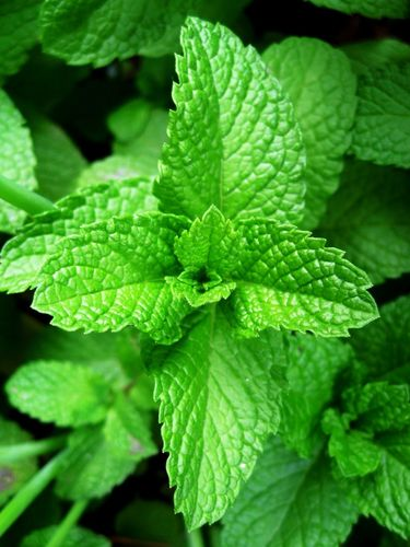 100% ESSENTIAL OIL - PEPPERMINT