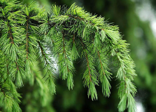 100% ESSENTIAL OIL - PINE NEEDLE